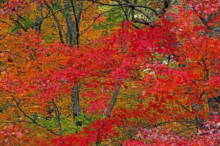 Brilliant red leaves in a Smoky Mountain Fall season.