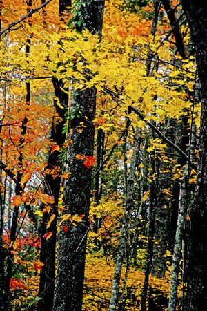 Vertical-Yellow and orange leaves cover the forest in fall in the Smokies. Фото со стока