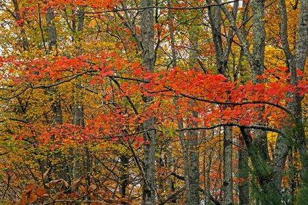 Red leaves stand out in the forest in fall.