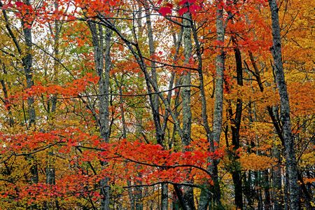 Red leaves in the fall season in the Smokies.