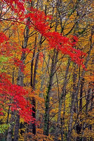 Vertical-red leaves in a forest in the Smoky Mountains fall.