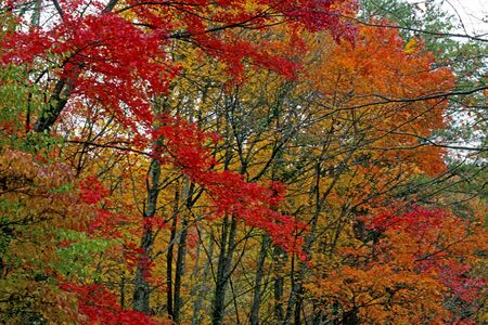 Red leaves in the Smoky Mountains in fall season.