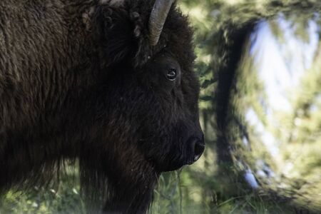 A Bison passes the mirror on a car in Yellowstone.