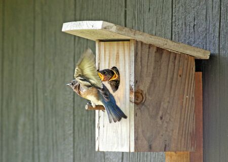 Bluebird parent flies in bringing food to her babies. Stockfoto
