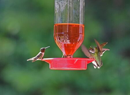 Three hummingbirds feed from the same feeder.