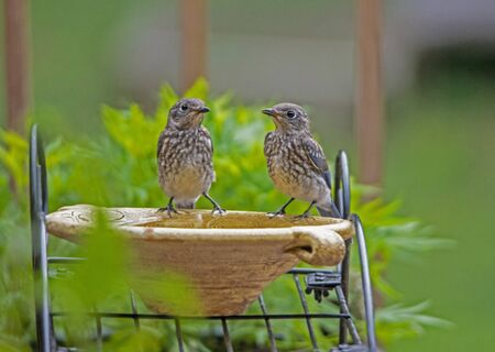 Two baby Bluebirds look at each other not knowing what to do. Banco de Imagens