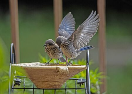 Two baby Bluebirds with wings stretched out.