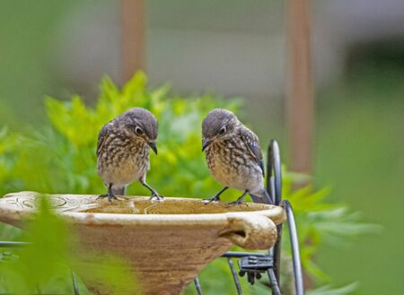 Two baby Bluebirds with a light green background.