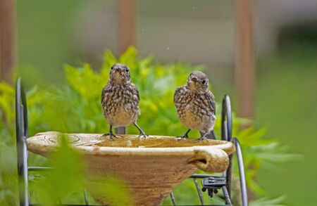 Two baby Bluebirds stand and stare at the camera.