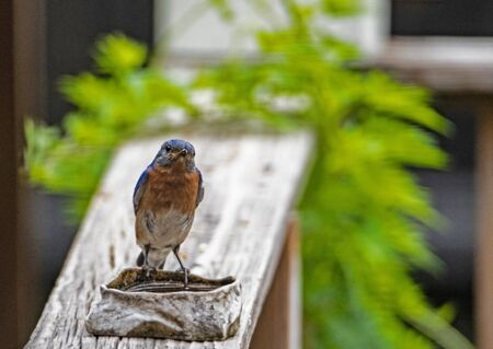 A little female Bluebird looks at the camera as she feeds.