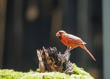 Male Cardinal feeding with a dark background.