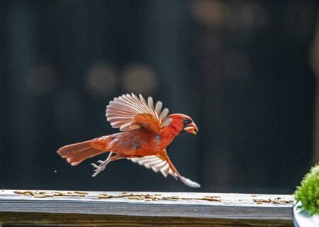 Male Cardinal in flight with a dark background.