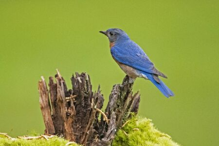 Male Bluebird with a green background.