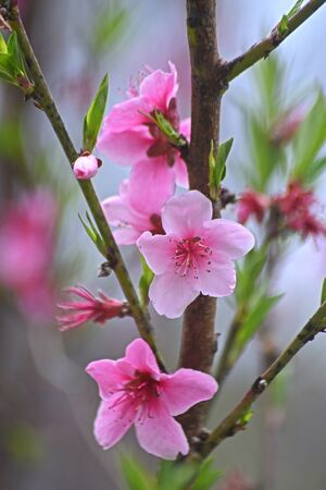 Beautiful pink blossoms with new green leaves.