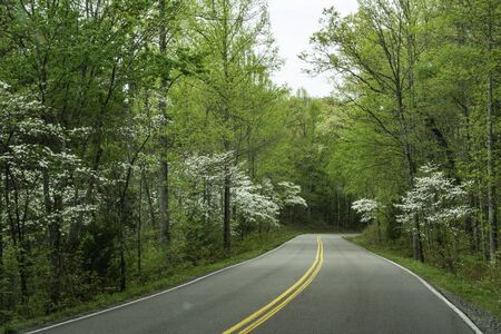 Dogwoods blooming along a country road. Stock Photo