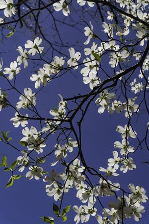 Vertical-Dogwood Tree blooming against a blue sky. Stock Photo