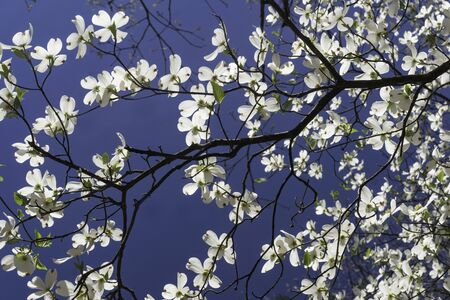 Dogwood blooms against a clear blue sky.