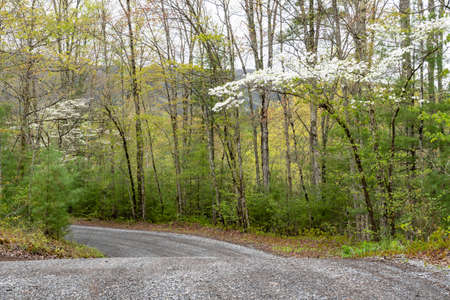 Dogwood Trees blooming along a country road in spring.