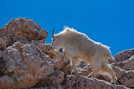 On Mt. Evans, a white Mountain Goat climbs on the rocks with a blue sky background.