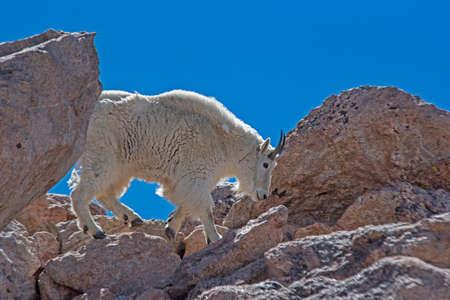 Under a blue sky, a white Mountain Goat climbs on rocks. Reklamní fotografie