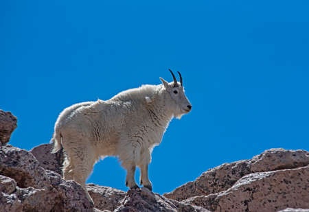 A Mountain Goat stands looking out from a the mountain peak.
