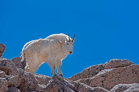 A Mountain Goat poses on a tall boulder under a blue sky.