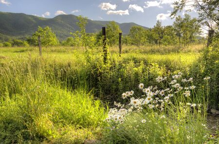 A cluster of wild Daisies bloom in the edge of a field in Cades Cove.