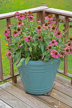 A blue flowerpot full of purple Coneflowers bloom with a green background.