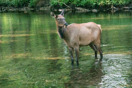 An adult Elk crosses a river and bugles in the rutting stage.