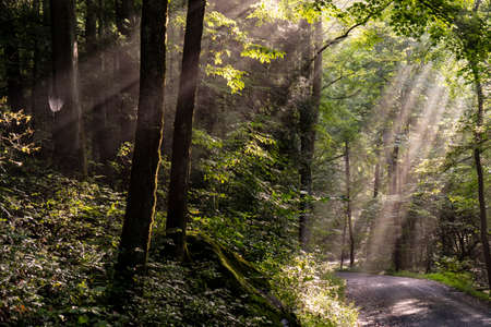 Sun rays filter through the trees early in the morning.