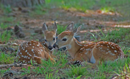 Two baby spotted deer lay facing each other touching noses. Reklamní fotografie