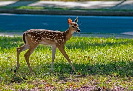 Single baby fawn still in spots walks around feeding on grass. Reklamní fotografie
