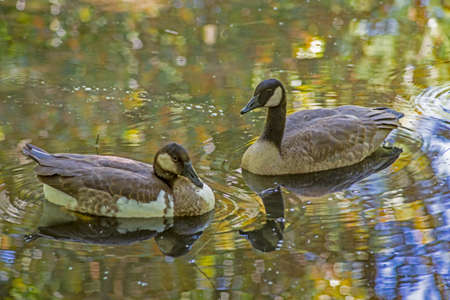 Canada Geese swimming in waters colored with shadows.