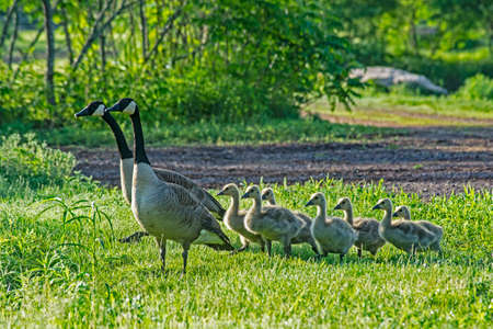 Canada Goose family taking care of their family of babies. Reklamní fotografie