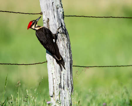 Pileated Woodpecker pecking on a wooden fence post in Cades Cove. Reklamní fotografie