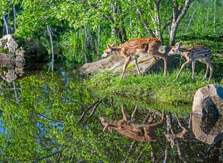 Two baby deer comes down to the lake for water. Reklamní fotografie
