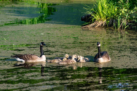 Canada Geese family watches their goslings from danger. Reklamní fotografie