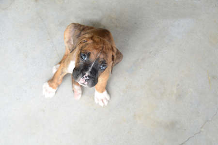 Little Boxer Puppy sitting on the floor looking with sorrowful eyes. Reklamní fotografie