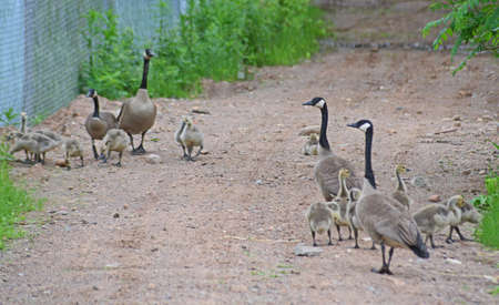 Two Canada Geese families stroll down to the river.