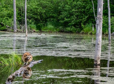 A Raccoon fishes from a fallen log near the river. Reklamní fotografie
