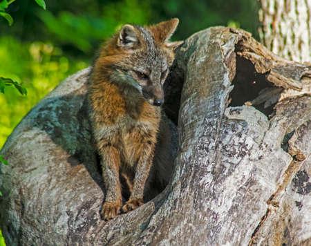 Red Fox checks out his den for food. Reklamní fotografie