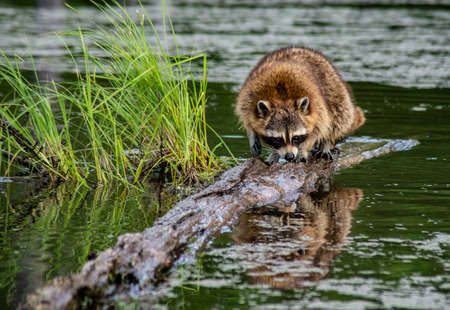 A Raccoon fishes in the water for snails to eat.
