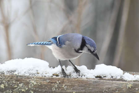 A large Blue Jay Bird perched in the snow feeding on seed.