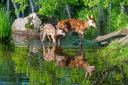 2 spotted deer drink from a cool lake surrounded with greenery.