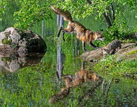 Litte Red Fox shows his reflection in a cool pnod as he drinks water from a lake.