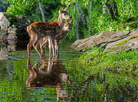 Two baby spotted deer drink water from a clear blue lake.