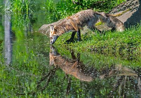 Beautiful Red Fox drinks from a clear blue lake. Reklamní fotografie
