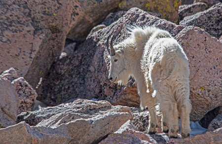 A family of wild goats come down from the cold mountain peaks looking for green food. Reklamní fotografie - 166413042