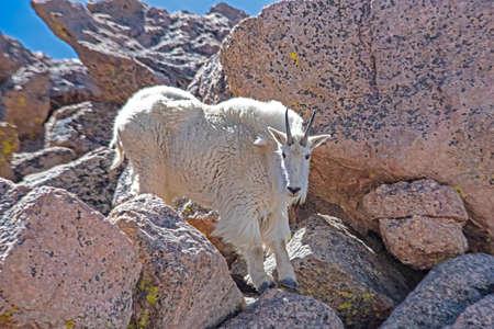 Wild Ram Goat of Mt. Evans, Colorado in spring season. Reklamní fotografie