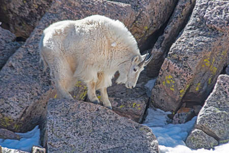 Wild Ram Goat of Mt. Evans, Colorado in spring season. Stock Photo